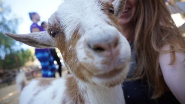 Los Angeles: Goat Yoga